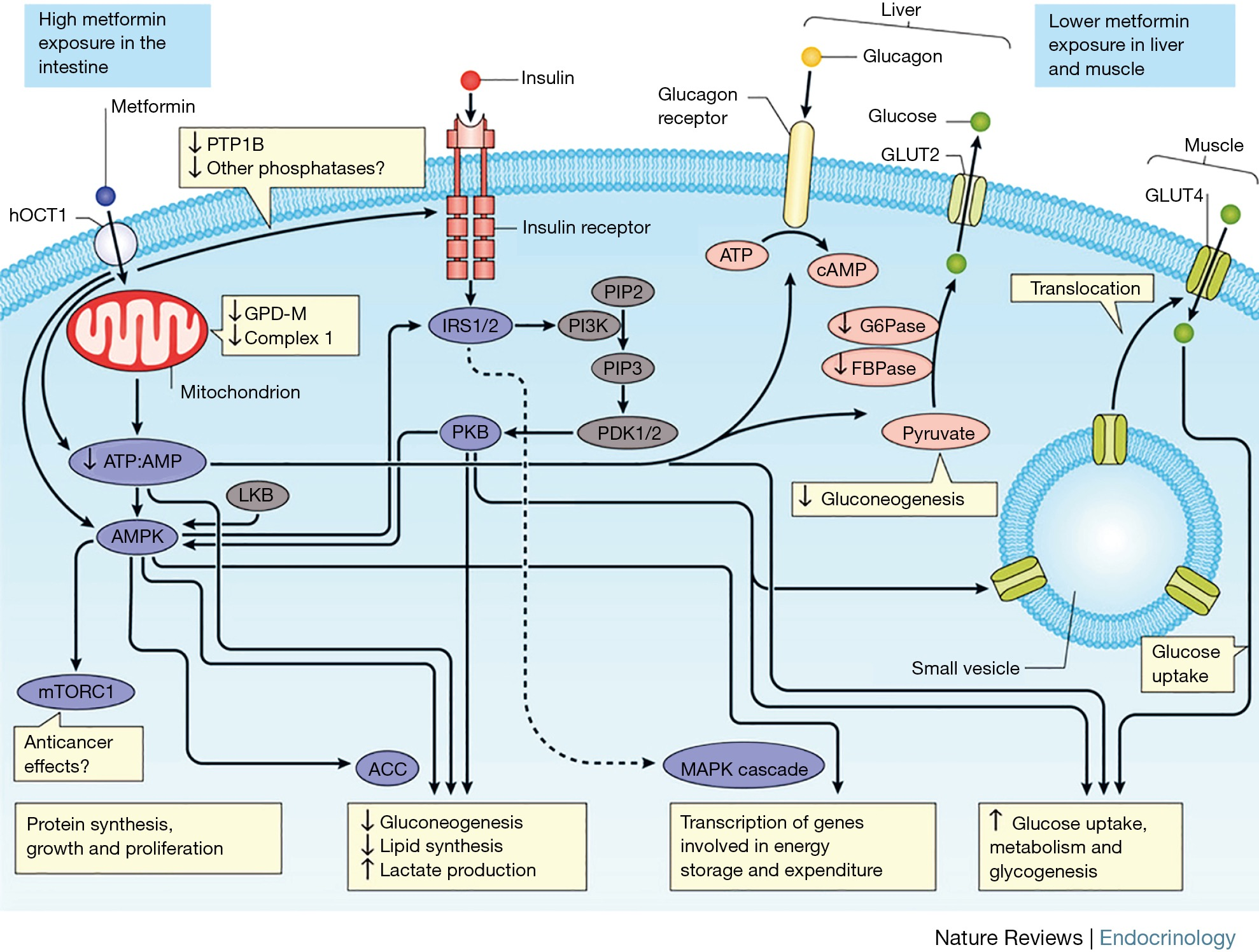 Effects of metformin on endothelial health and erectile dysfunction