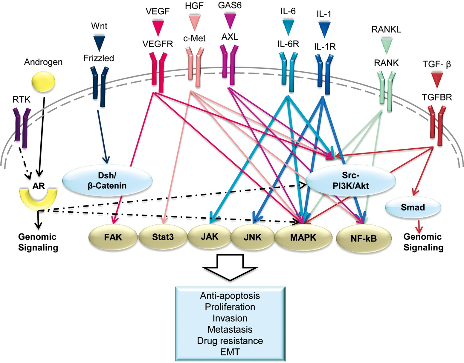 longevity pathways converge on autophagy genes Many autophagy‐related genes amino acid sensing and insulin growth factor signals converge and it is conceivable that longevity pathways modulate.